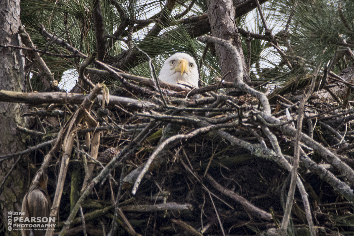 March 14, 2016 - While out chasing trains on the Paducah and Louisville Railway I decided to stop in at the eagles nest close to Kentucky Dam and the P&L right-of-way and caught this shot of one of them peeking over the top of the nest.